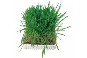سبزه گربه/ Cat grass