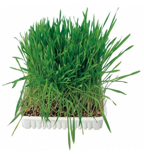 علف گربه/ Cat grass